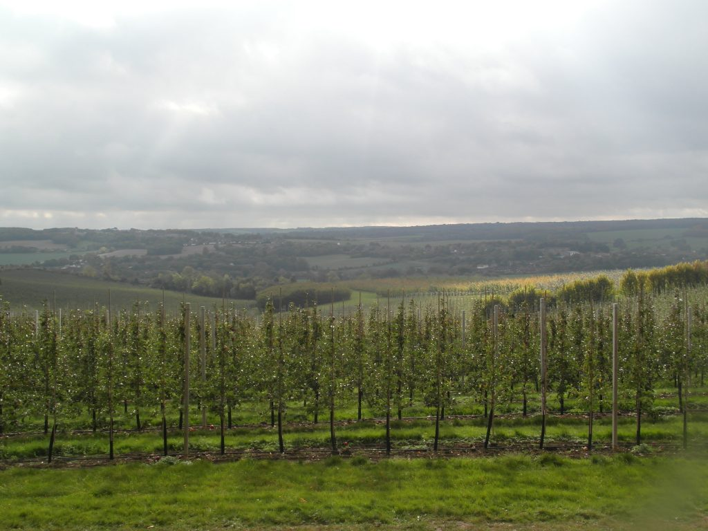 The vineyards of Kent on the way to Canterbury cathedral