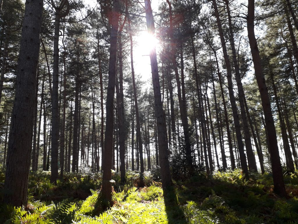 light coming through the trees at Rendlesham Forest, Suffolk