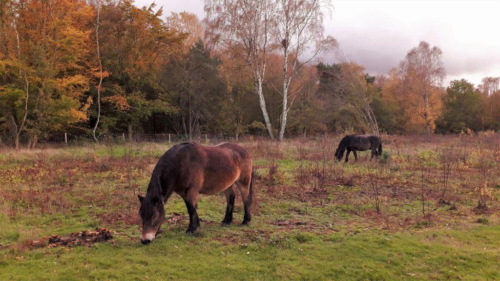 Exmoor ponies at Knettishall Heath nature reserve
