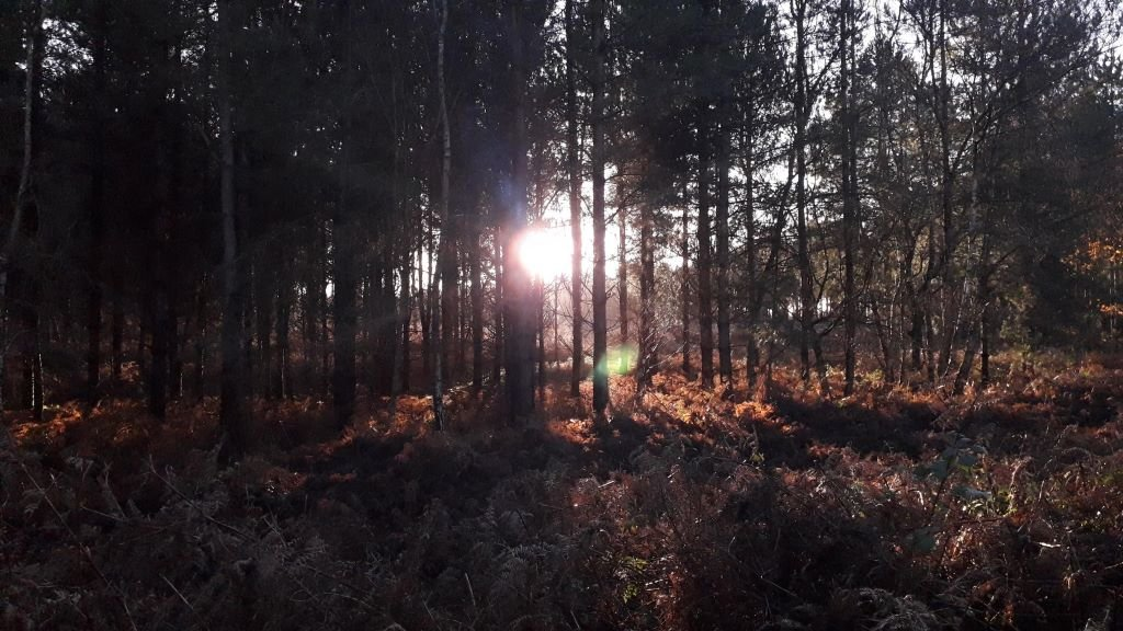sunlight through the pine trees at Rendlesham Forest